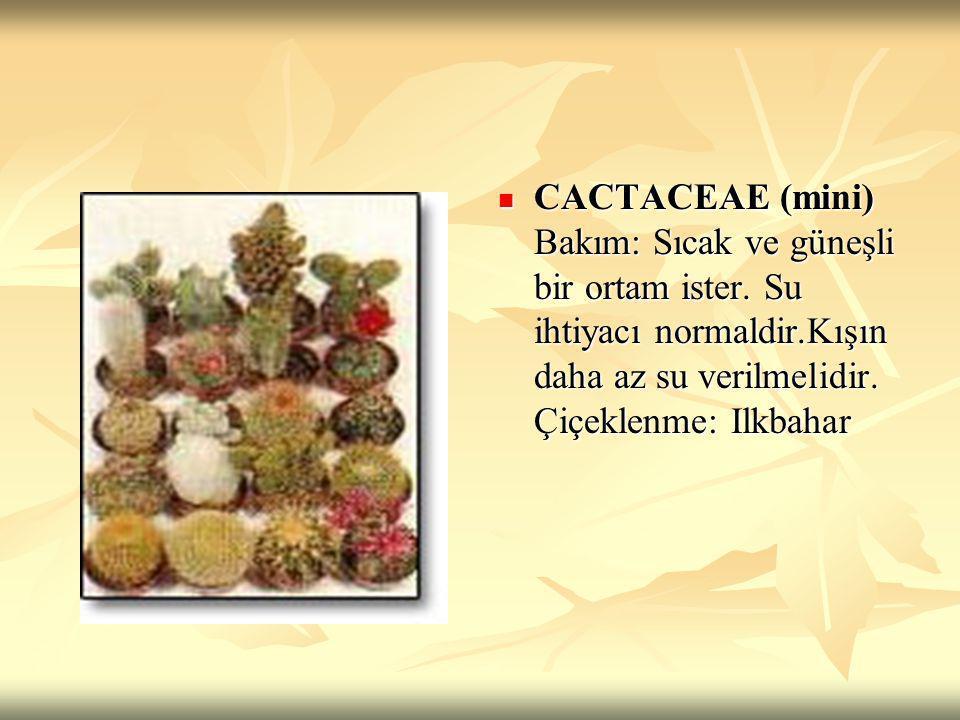 CACTACEAE (mini) Bakım: Sıcak ve güneşli bir ortam ister