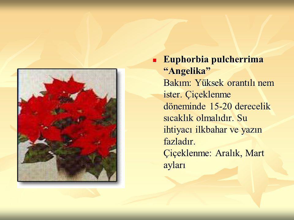 Euphorbia pulcherrima Angelika Bakım: Yüksek orantılı nem ister