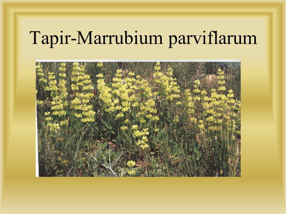 Tapir-Marrubium parviflarum