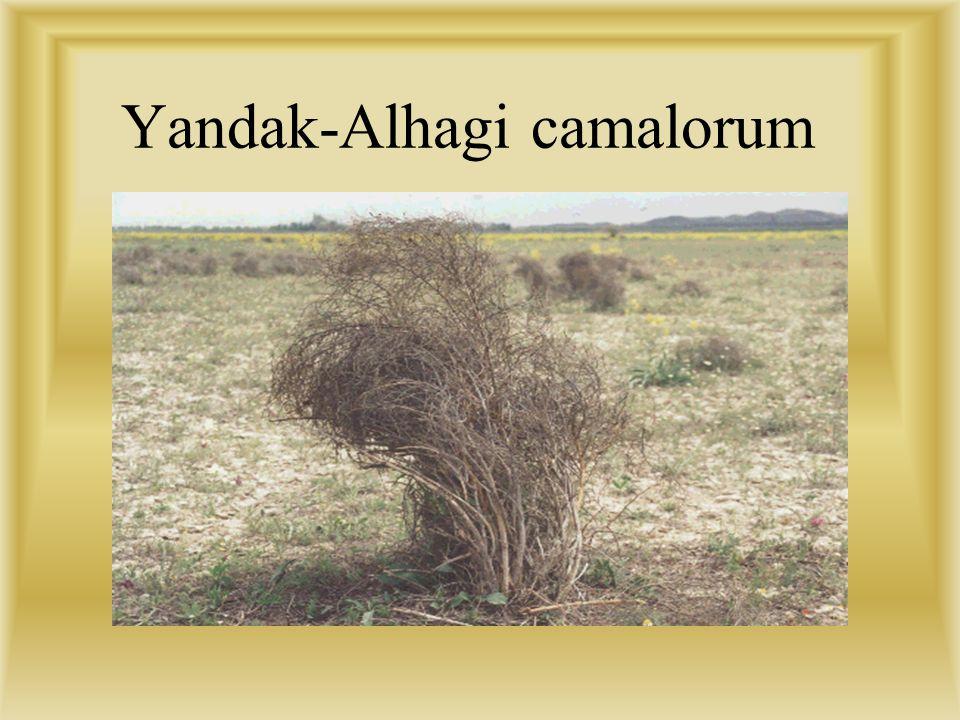 Yandak-Alhagi camalorum