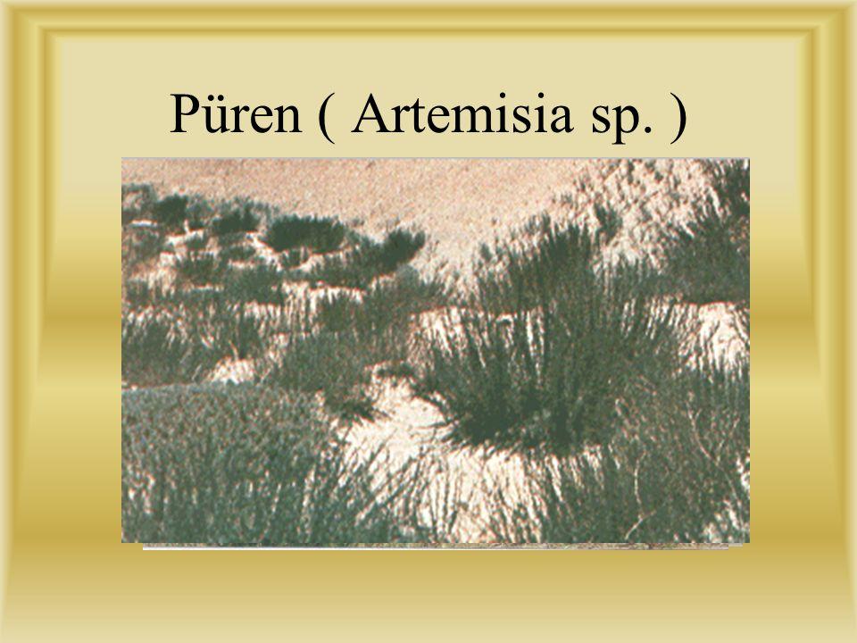 Püren ( Artemisia sp. )