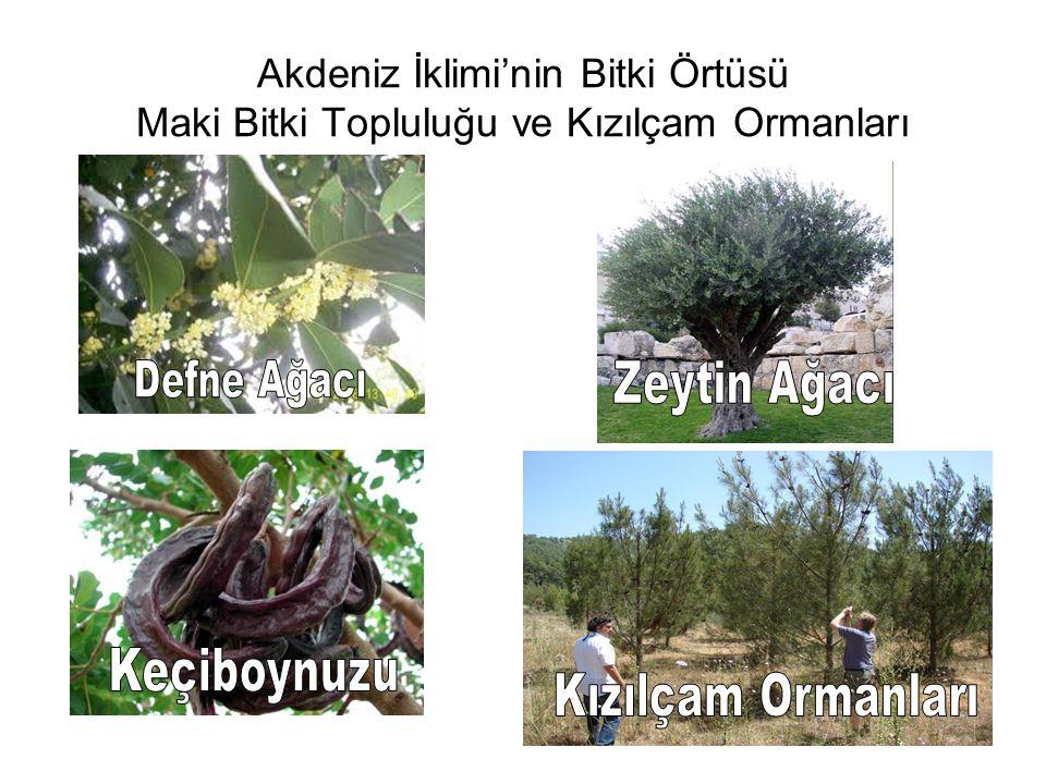 Zeytin Ağacı Keçiboynuzu Kızılçam Ormanları