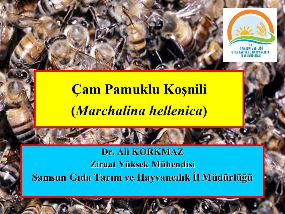 Çam Pamuklu Koşnili (Marchalina hellenica)