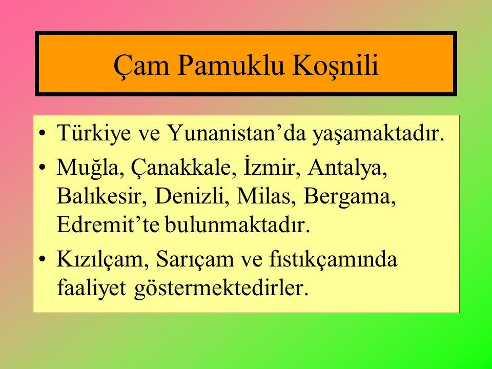 Çam Pamuklu Koşnili Türkiye ve Yunanistan'da yaşamaktadır.
