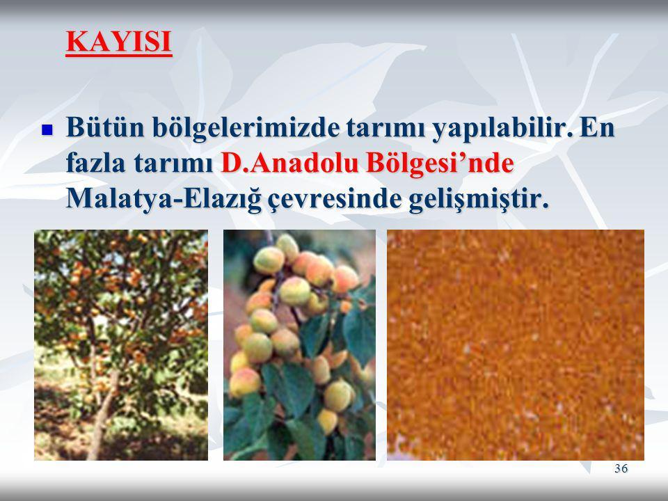 KAYISI Bütün bölgelerimizde tarımı yapılabilir.