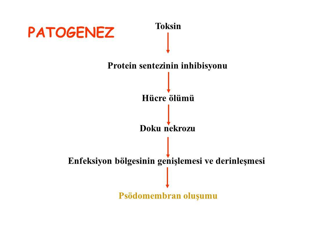 PATOGENEZ Toksin Protein sentezinin inhibisyonu Hücre ölümü