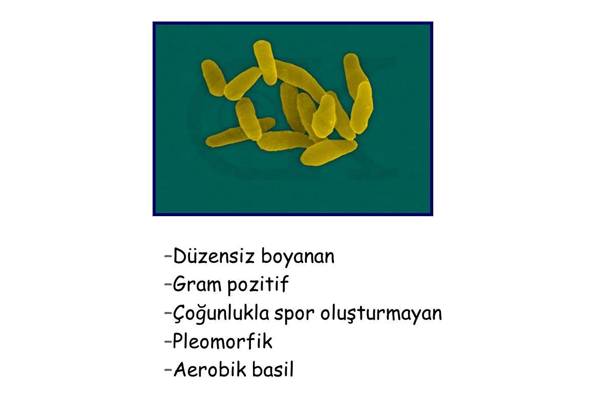 Düzensiz boyanan Gram pozitif Çoğunlukla spor oluşturmayan Pleomorfik Aerobik basil