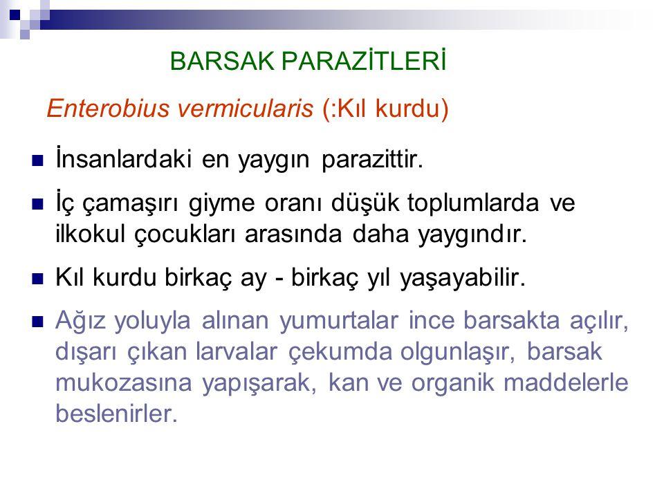 BARSAK PARAZİTLERİ Enterobius vermicularis (:Kıl kurdu)