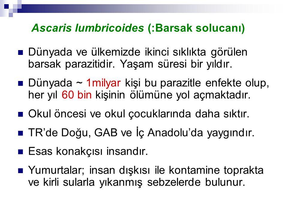 Ascaris lumbricoides (:Barsak solucanı)