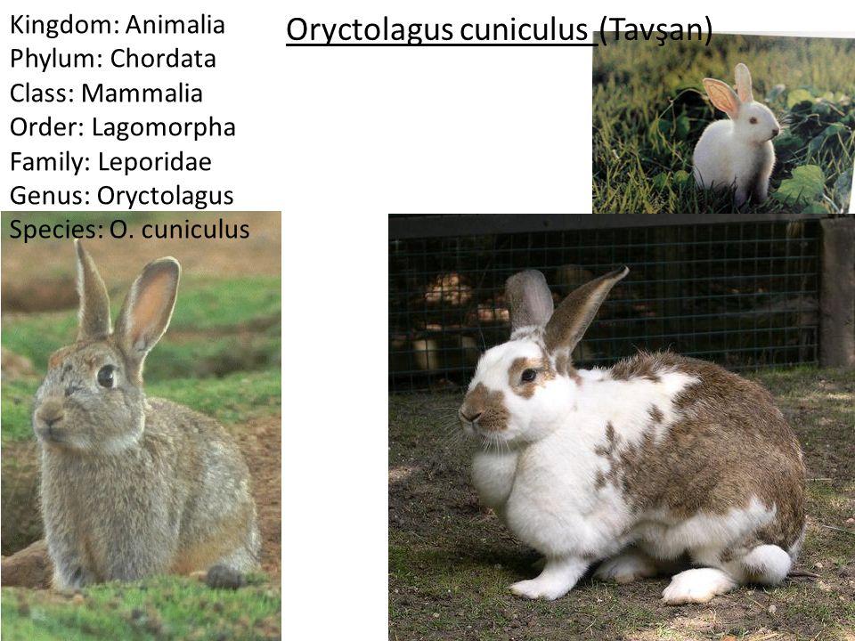Oryctolagus cuniculus (Tavşan)