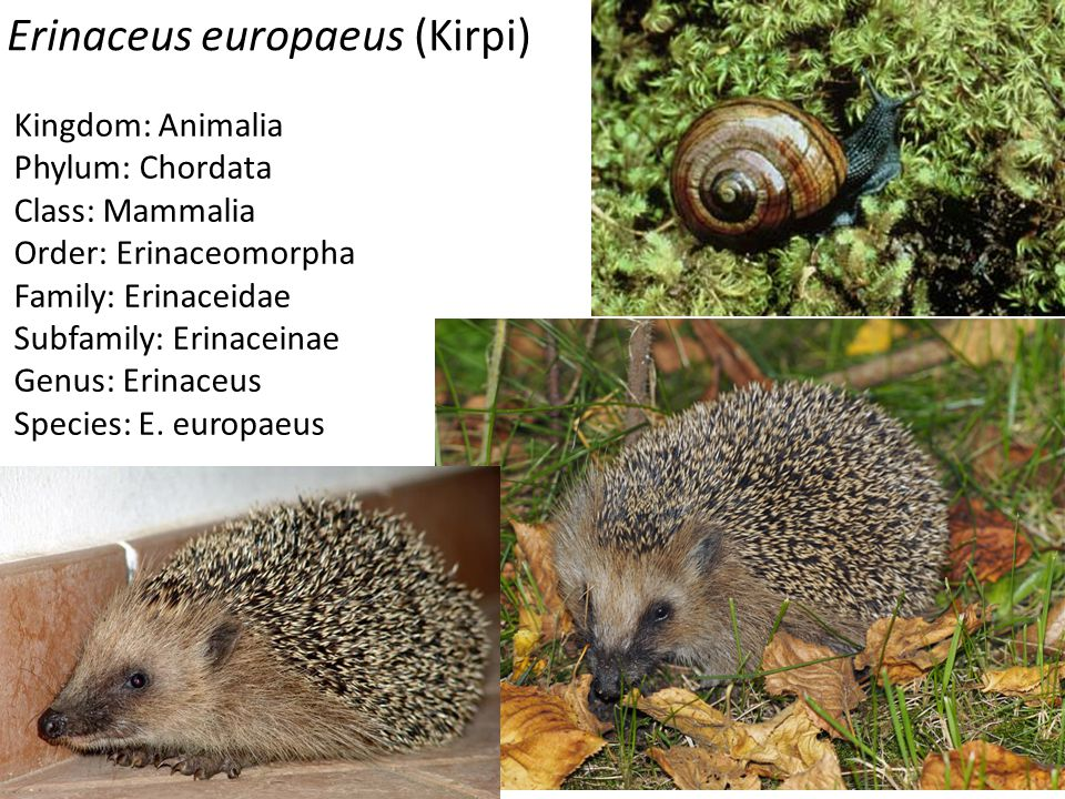 Erinaceus europaeus (Kirpi)