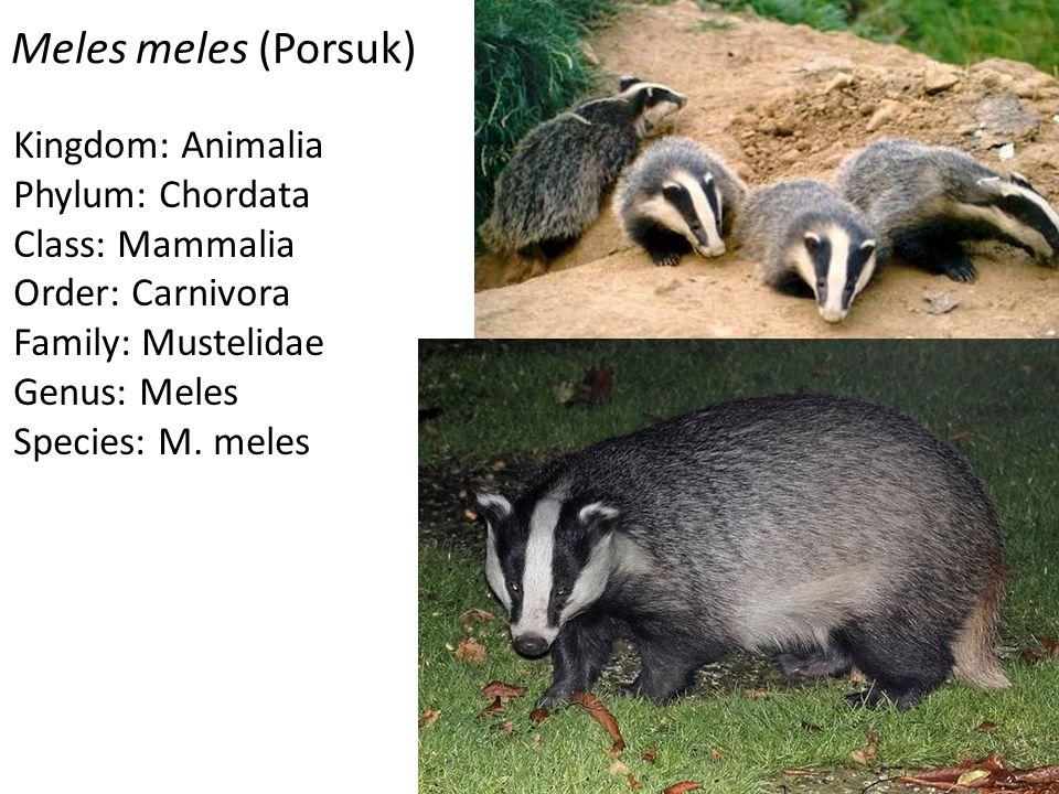 Meles meles (Porsuk) Kingdom: Animalia Phylum: Chordata