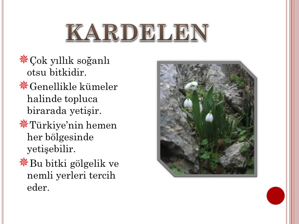 KARDELEN Çok yıllık soğanlı otsu bitkidir.