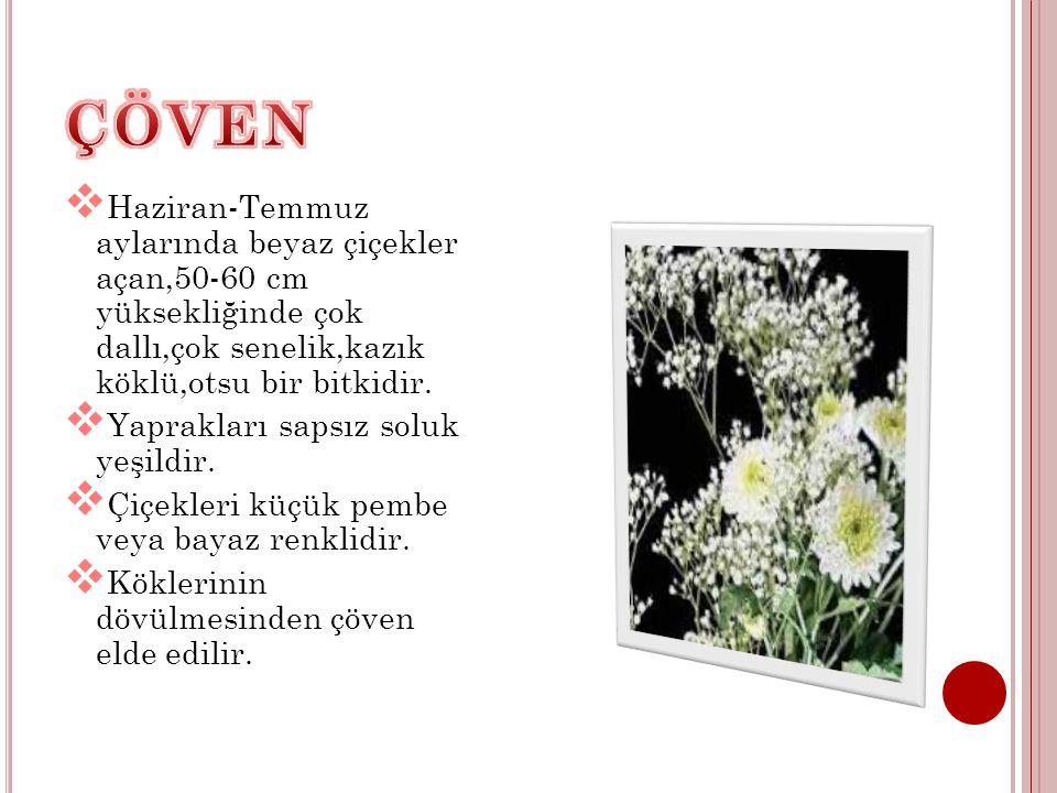 ÇÖVEN Haziran-Temmuz aylarında beyaz çiçekler açan,50-60 cm yüksekliğinde çok dallı,çok senelik,kazık köklü,otsu bir bitkidir.