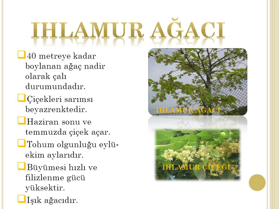 IHLAMUR AĞACI 40 metreye kadar boylanan ağaç nadir olarak çalı durumundadır. Çiçekleri sarımsı beyazrenktedir.
