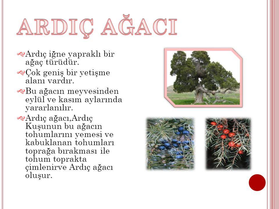 ARDIÇ AĞACI Ardıç iğne yapraklı bir ağaç türüdür.