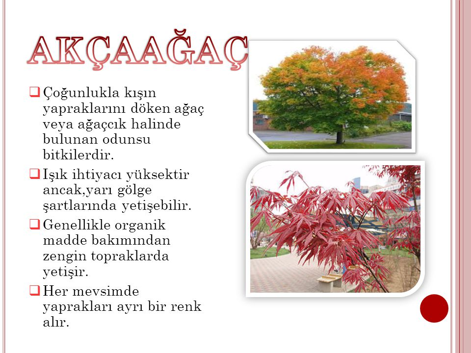 AKÇAAĞAÇ Çoğunlukla kışın yapraklarını döken ağaç veya ağaçcık halinde bulunan odunsu bitkilerdir.