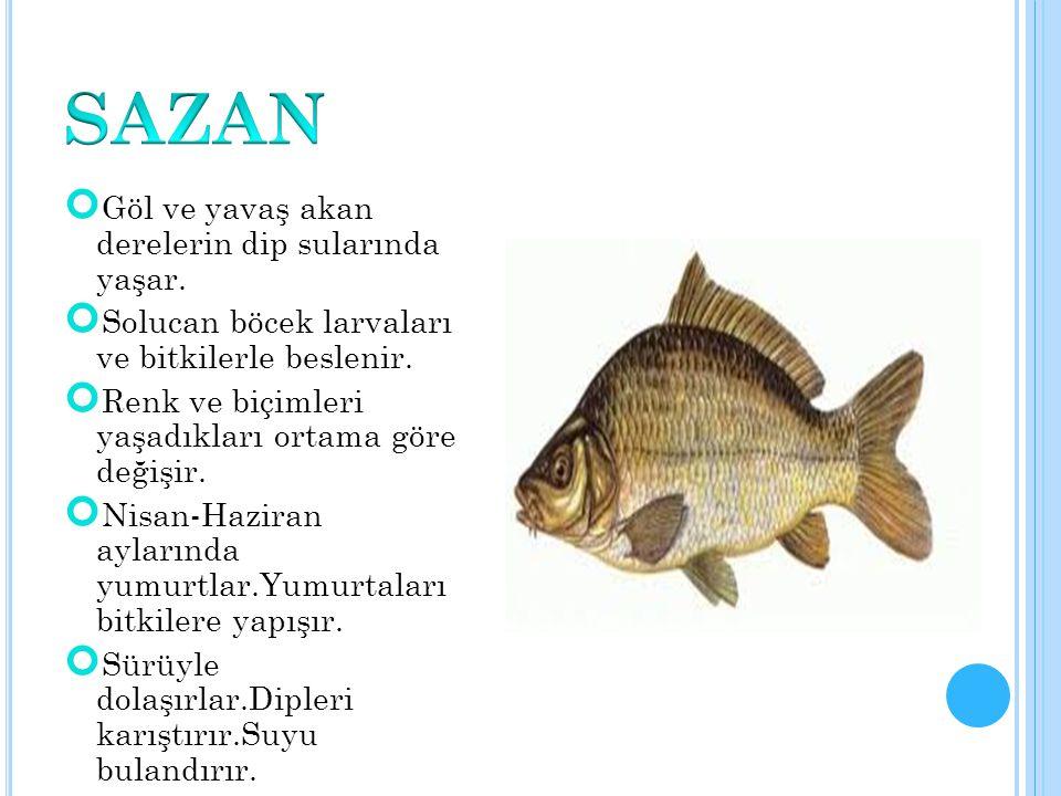 SAZAN Göl ve yavaş akan derelerin dip sularında yaşar.