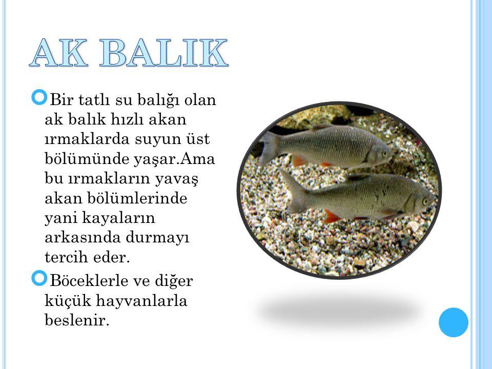 AK BALIK