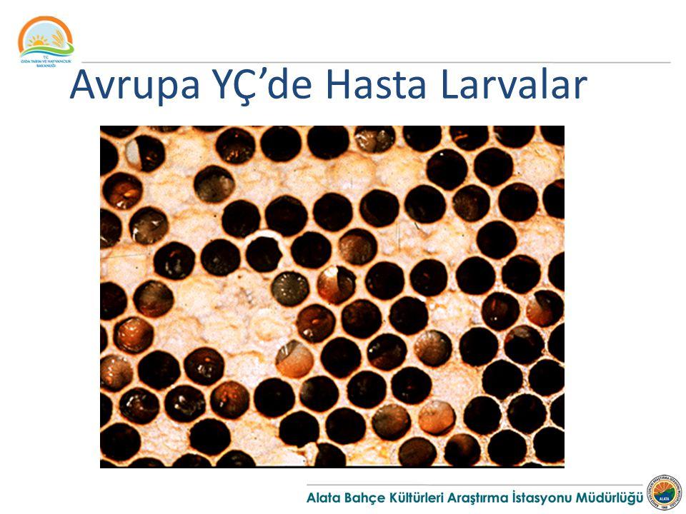Avrupa YÇ'de Hasta Larvalar