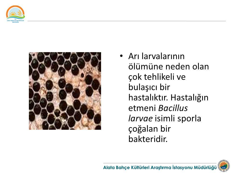 Arı larvalarının ölümüne neden olan çok tehlikeli ve bulaşıcı bir hastalıktır.