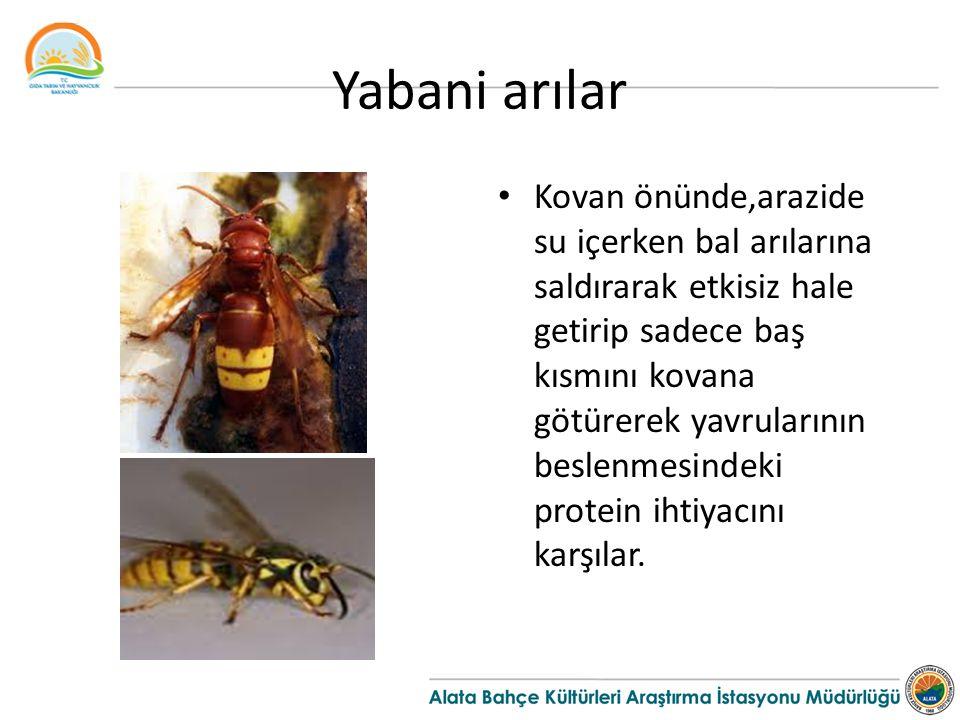 Yabani arılar