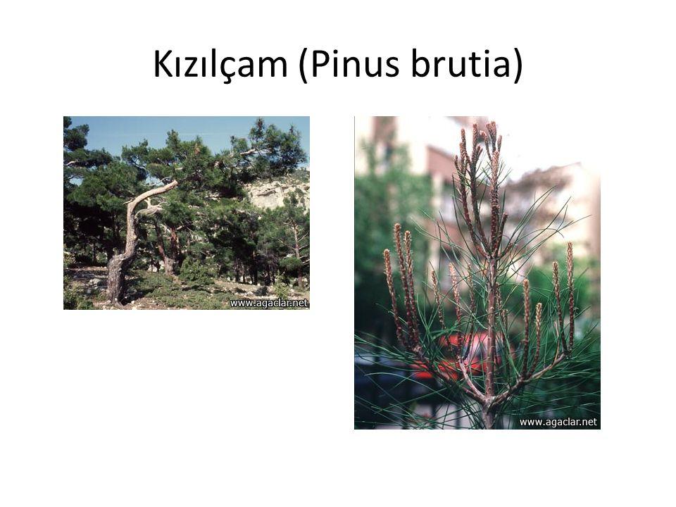 Kızılçam (Pinus brutia)