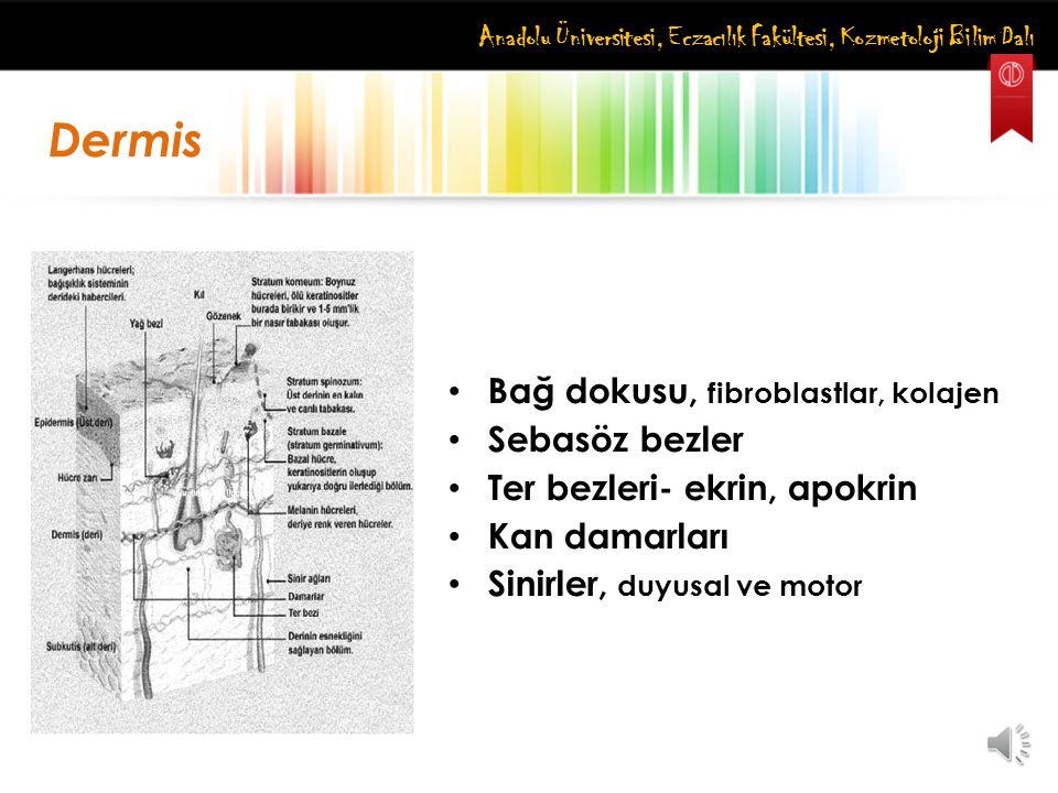 Dermis Bağ dokusu, fibroblastlar, kolajen Sebasöz bezler