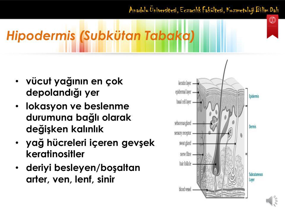 Hipodermis (Subkütan Tabaka)