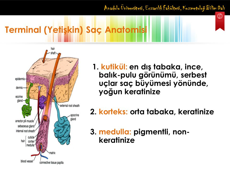 Terminal (Yetişkin) Saç Anatomisi