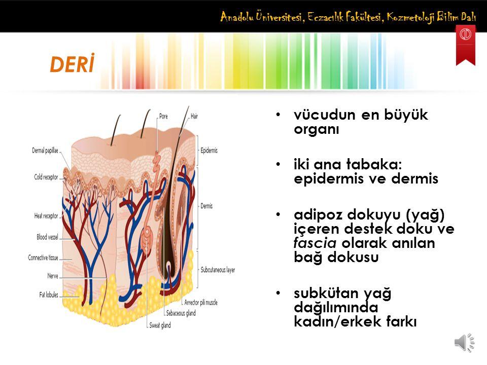DERİ vücudun en büyük organı iki ana tabaka: epidermis ve dermis