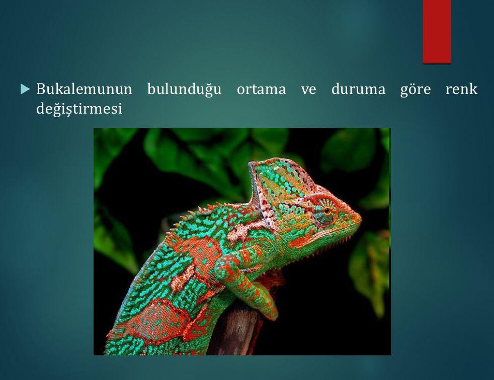 Bukalemunun bulunduğu ortama ve duruma göre renk değiştirmesi