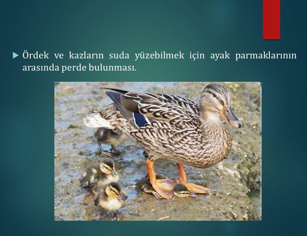 Ördek ve kazların suda yüzebilmek için ayak parmaklarının arasında perde bulunması.