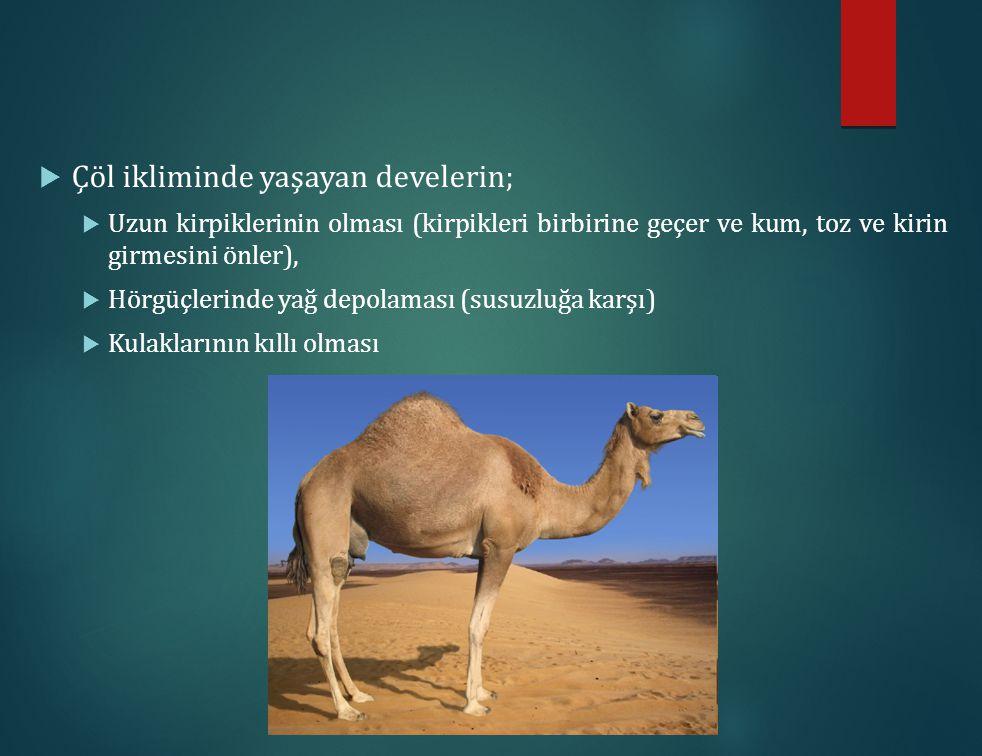 Çöl ikliminde yaşayan develerin;
