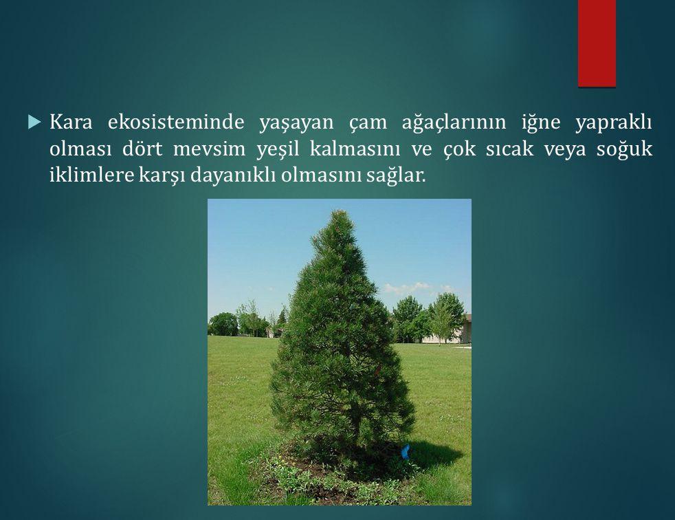 Kara ekosisteminde yaşayan çam ağaçlarının iğne yapraklı olması dört mevsim yeşil kalmasını ve çok sıcak veya soğuk iklimlere karşı dayanıklı olmasını sağlar.
