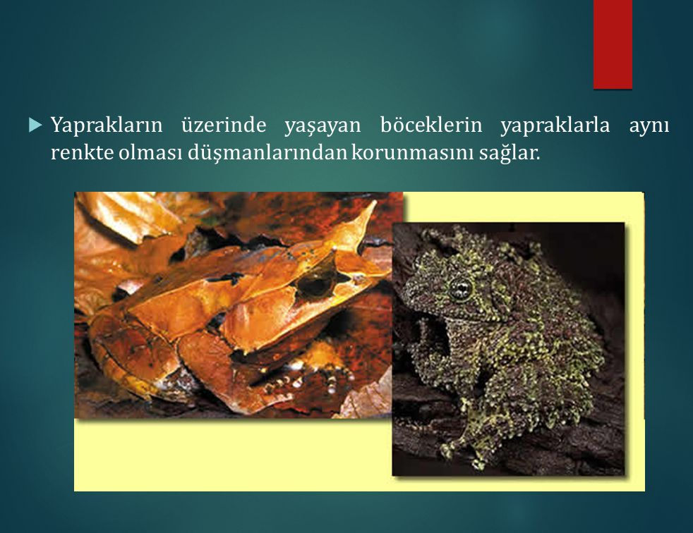 Yaprakların üzerinde yaşayan böceklerin yapraklarla aynı renkte olması düşmanlarından korunmasını sağlar.