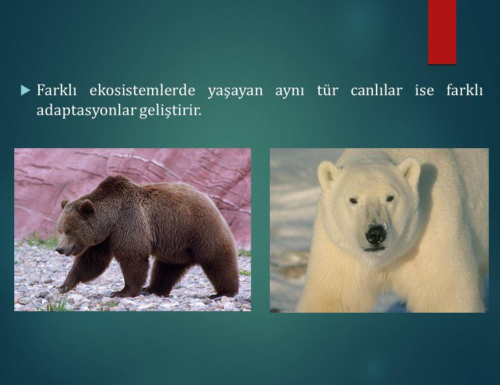 Farklı ekosistemlerde yaşayan aynı tür canlılar ise farklı adaptasyonlar geliştirir.