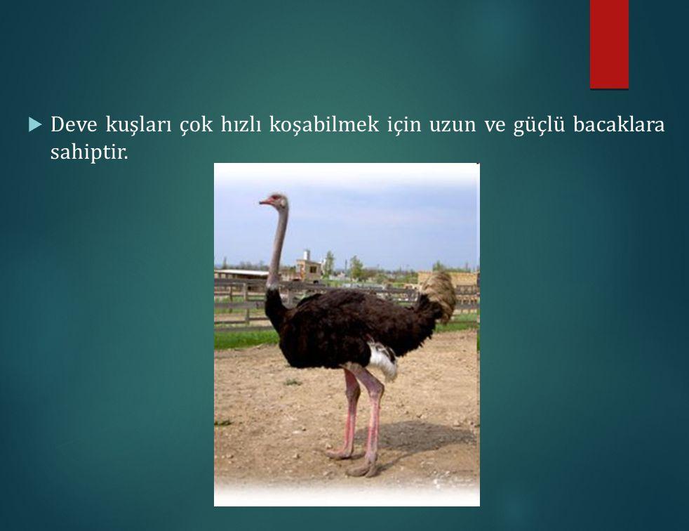 Deve kuşları çok hızlı koşabilmek için uzun ve güçlü bacaklara sahiptir.