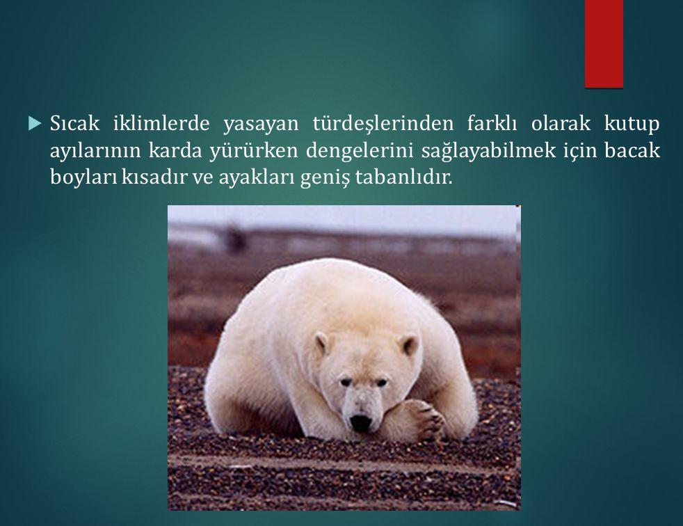 Sıcak iklimlerde yasayan türdeşlerinden farklı olarak kutup ayılarının karda yürürken dengelerini sağlayabilmek için bacak boyları kısadır ve ayakları geniş tabanlıdır.
