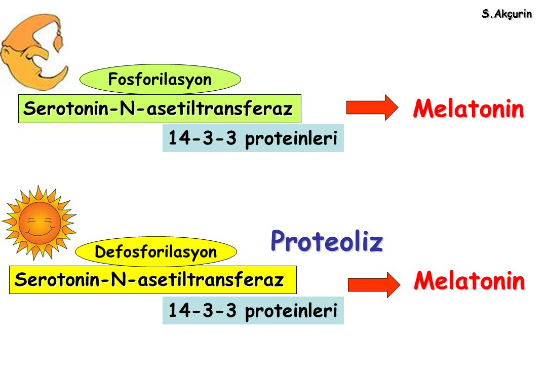 Proteoliz Melatonin Melatonin Serotonin-N-asetiltransferaz
