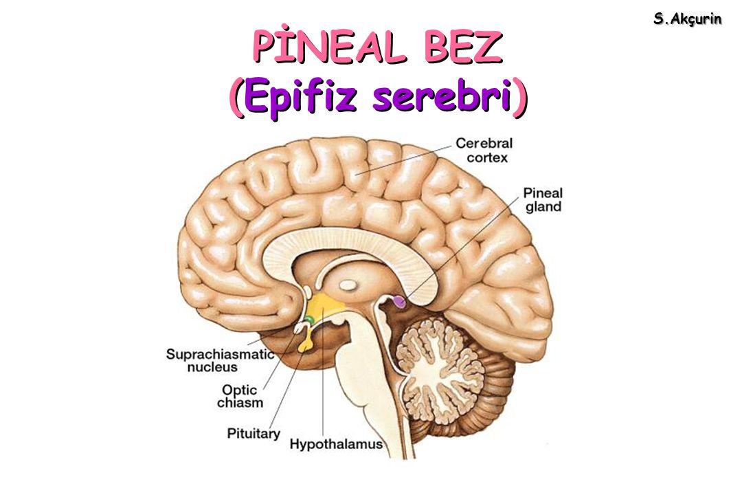PİNEAL BEZ (Epifiz serebri)