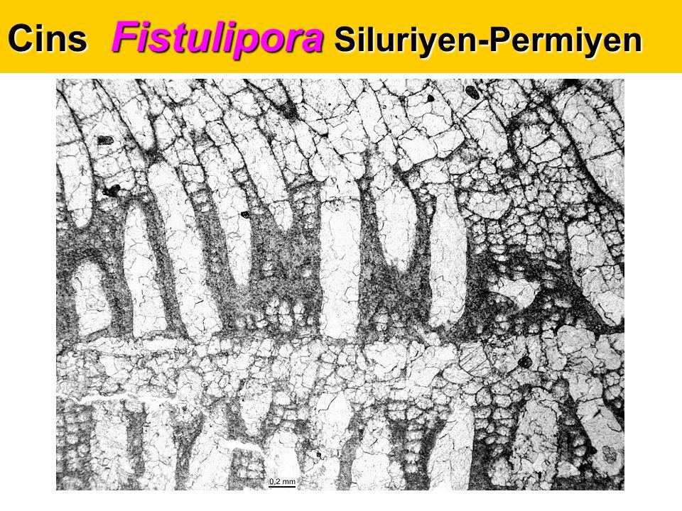 Cins Fistulipora Siluriyen-Permiyen