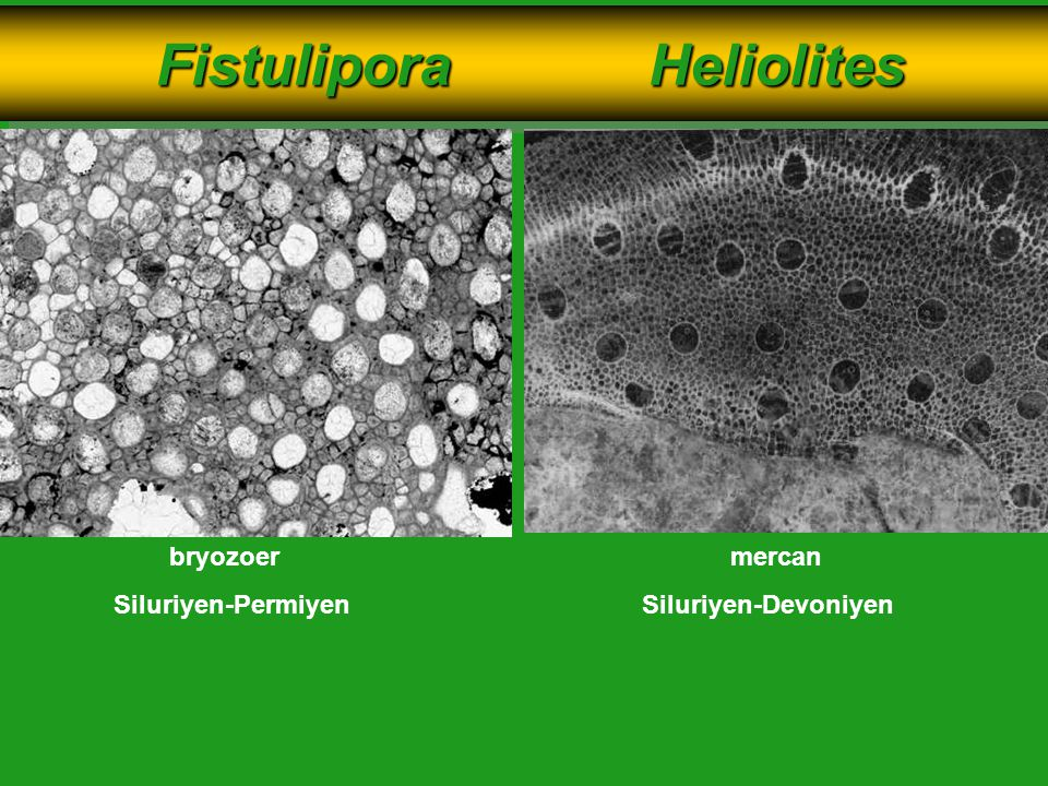 Fistulipora Heliolites