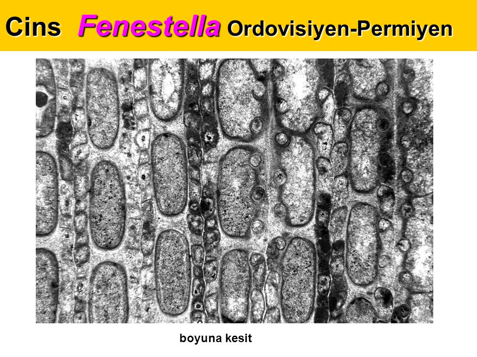 Cins Fenestella Ordovisiyen-Permiyen