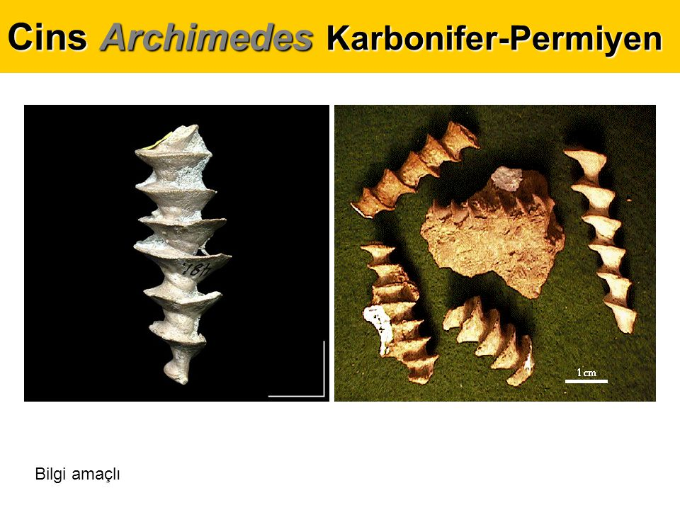 Cins Archimedes Karbonifer-Permiyen