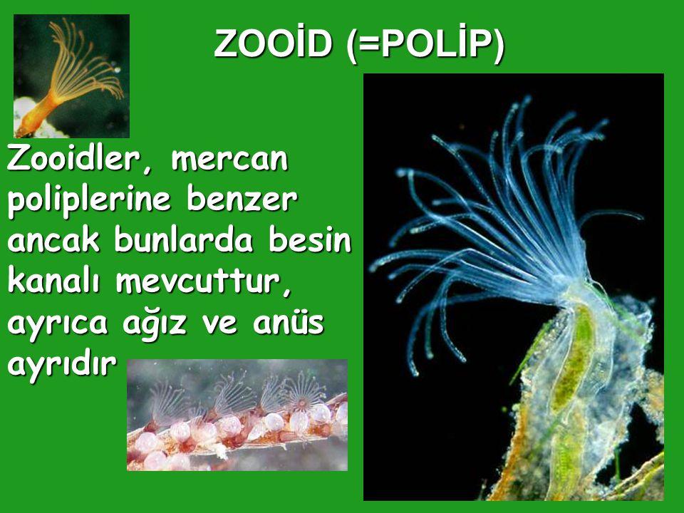 ZOOİD (=POLİP) Zooidler, mercan poliplerine benzer ancak bunlarda besin kanalı mevcuttur, ayrıca ağız ve anüs ayrıdır.