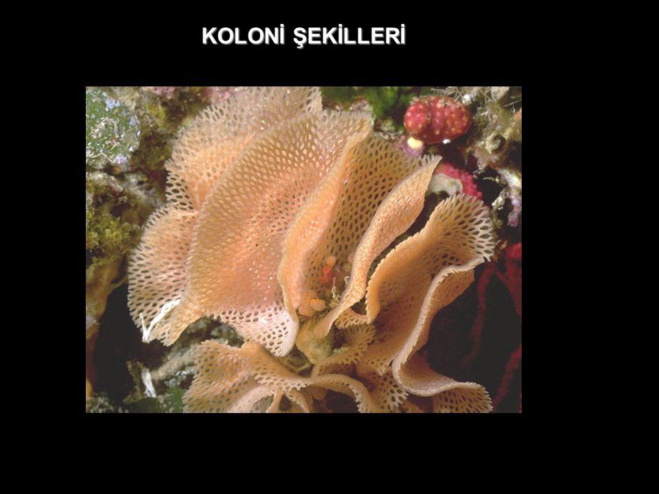 KOLONİ ŞEKİLLERİ