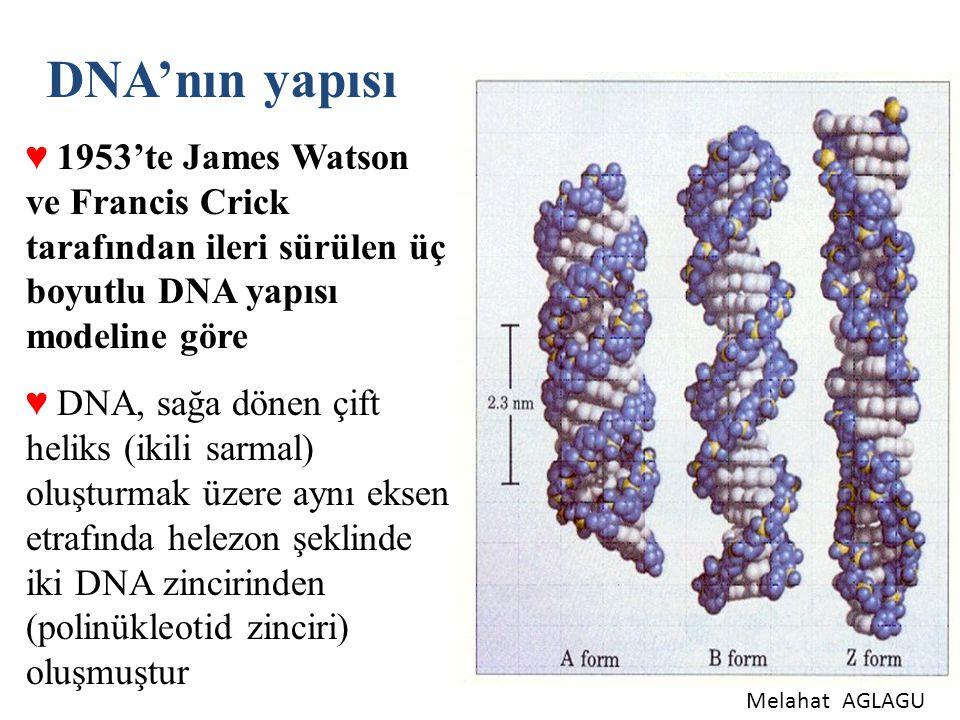 DNA'nın yapısı 1953'te James Watson ve Francis Crick tarafından ileri sürülen üç boyutlu DNA yapısı modeline göre.