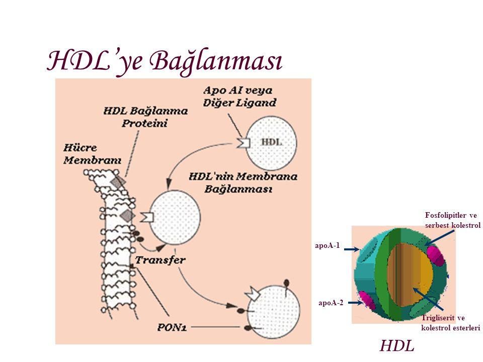 HDL'ye Bağlanması HDL Fosfolipitler ve serbest kolestrol apoA-1 apoA-2