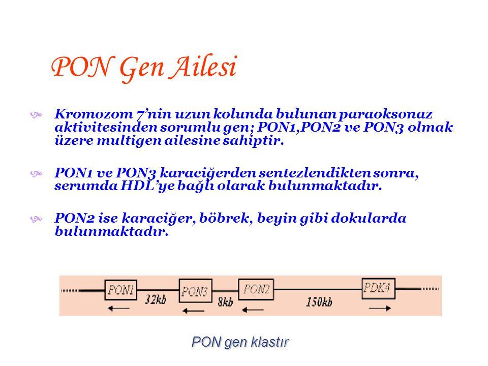 PON Gen Ailesi Kromozom 7'nin uzun kolunda bulunan paraoksonaz aktivitesinden sorumlu gen; PON1,PON2 ve PON3 olmak üzere multigen ailesine sahiptir.